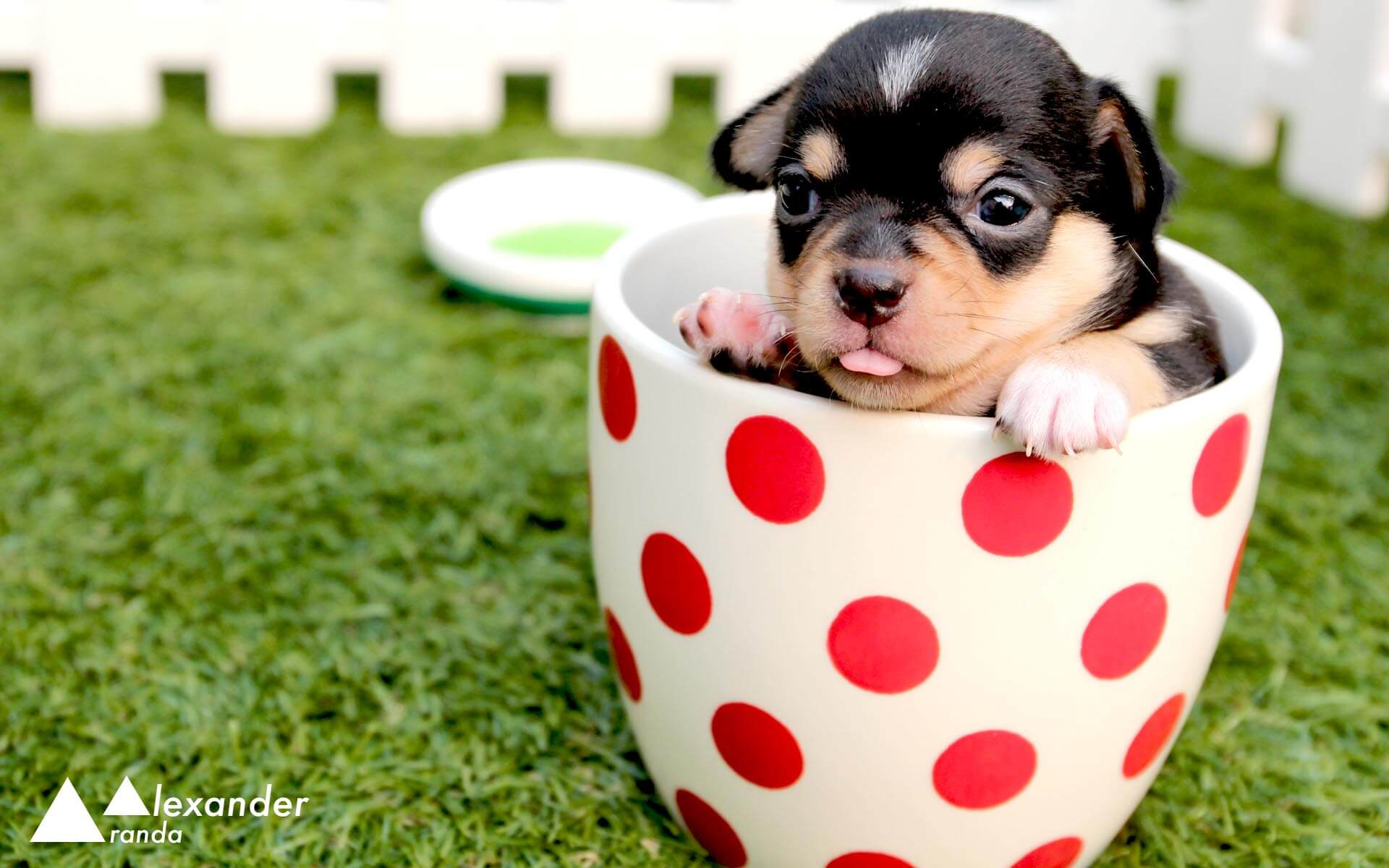 Tiny chihuahua puppy in a cup
